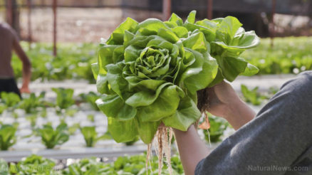 Hydroponics-Lettuce-Growing-Farm