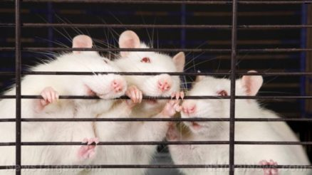 Rats-Mice-Cage-Experiment-Lab-e1502711343731